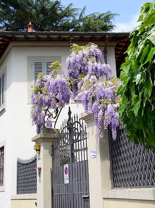 Wisteria, Florence Italy 2016