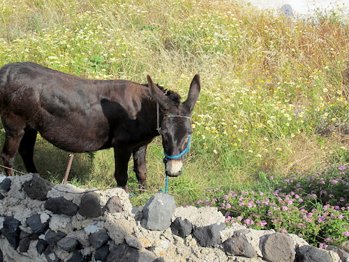 Donkey, Santorini, Greece